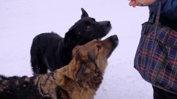 Toulavé psy. Zimní čas. Lidé krmí zvířata