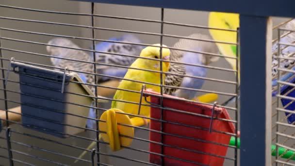 Barevné Andulka papoušek v kleci. Andulku papouška v klec. Ptáci jíst jídlo