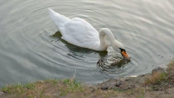 schöner weißer Schwan mit rotem Schnabel, der im See schwimmt. Wildtier frisst Gras und trinkt sauberes Wasser. Konzept spart Plätze für Tiere.
