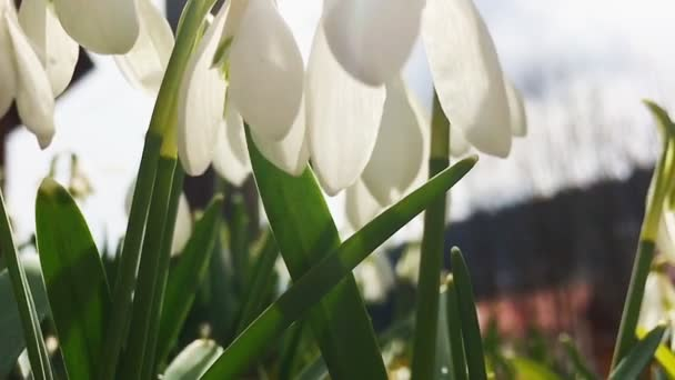 Snowdrops swaying in the wind