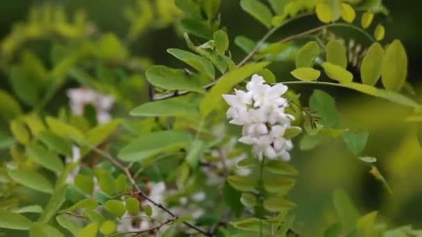Akát květ. Jarní pozadí