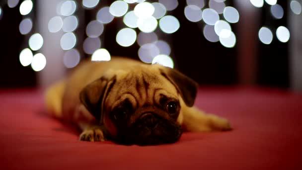 Mopsz kiskutya szóló, a piros háttérben a karácsonyi fények