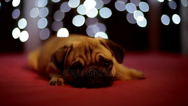 Mopsz kölyök alszik a piros háttérben a karácsonyi fények