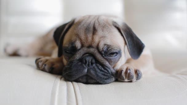 Sleepy puppy the pug