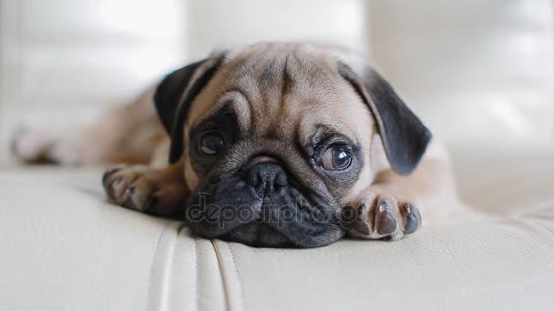 sleepy pup de mopshond — stockvideo © 0ceanaria #178708304