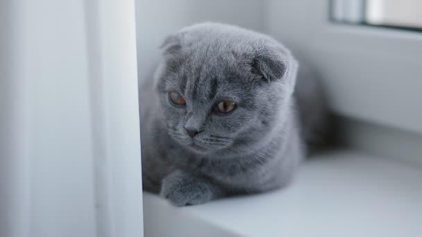 Lop fülű brit cica fekszik az ablakpárkányon