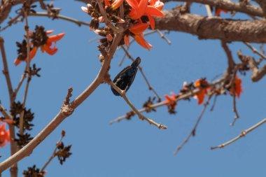 A Beautiful Purple Sunbird with sharp beak sitting on the Cotton Silk tree in Zoology concept.