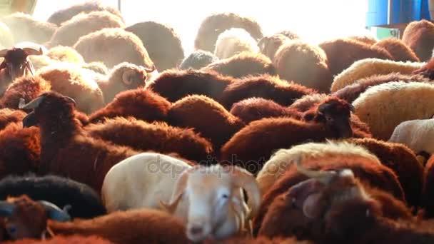 Säugetier Nutztier Schafe