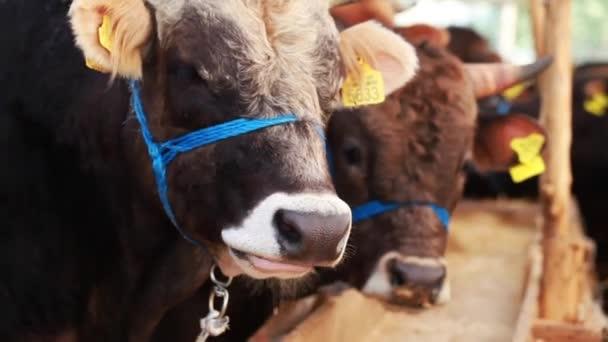 Býk a kráva farma savec zvíře