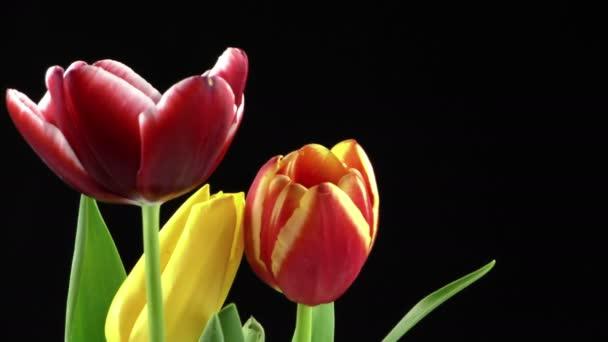 Fekete háttér piros tulipán virág növény