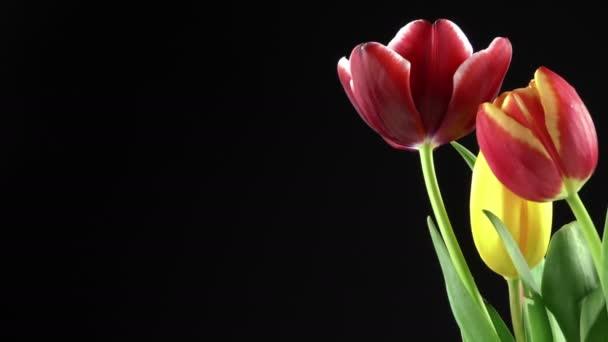 Červené tulipány květina rostlina na černém pozadí