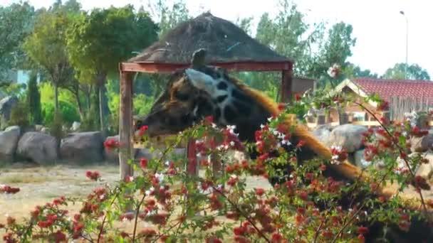 Africká žirafa zvířat v Zoo
