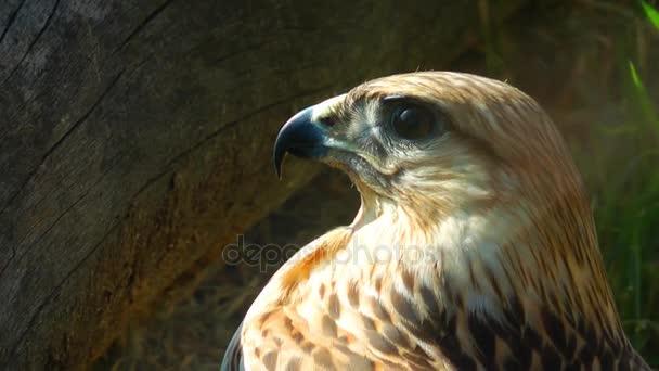 Sólyom madár állat a vadon élő állatok