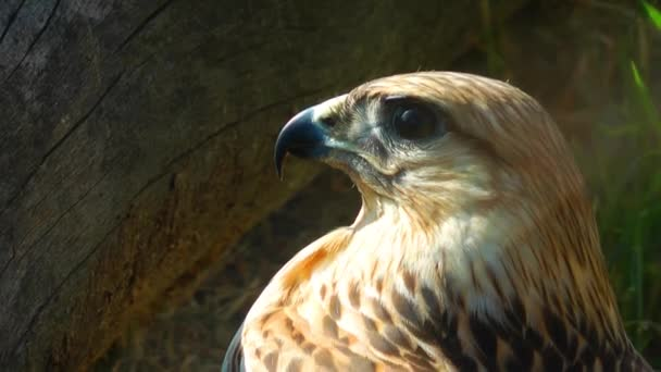Hawk Bird Animal in Wildlife