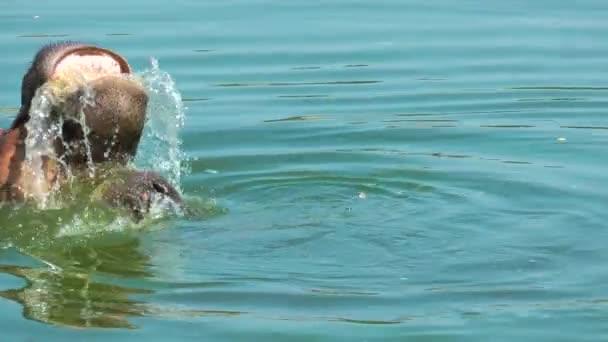 Nilpferd Säugetier Tier im Wasser