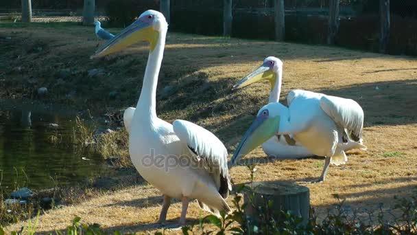 Vogel Tier Pelikan
