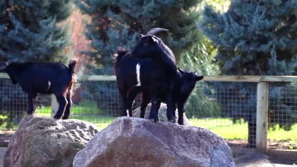 The Goats Mammal Animal
