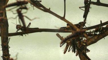 Many Grasshopper Insect Animal