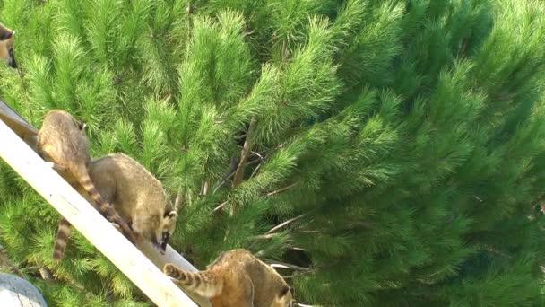 Coati Animal in Zoo in Nature
