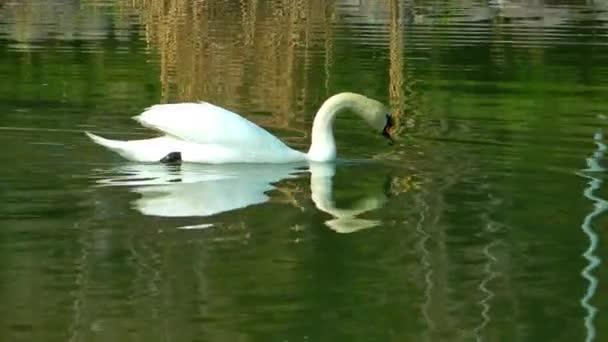 Schwan auf dem grünen See