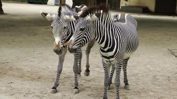 Zebra emlős állatok az állatkertben