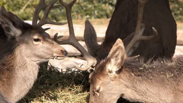 Krmení jelenů savců