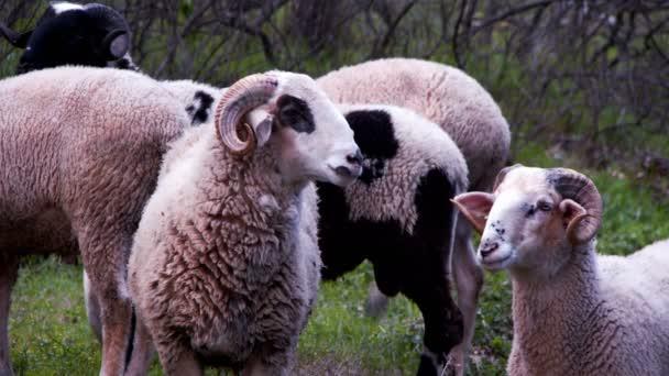 Ovce savců poblíž řeky