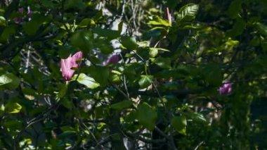 Květ Magnolie v přírodě