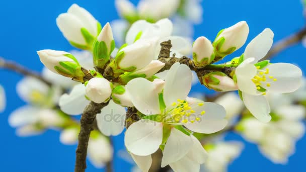 Mandulás gyümölcs virág virágzó idő telik el a kék háttér