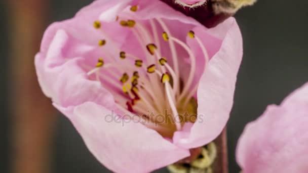 Broskvový květ kvetoucí zoom časová prodleva
