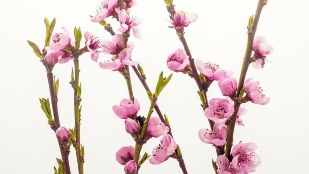 Broskvový ovocný květinový kvetoucí časová prodleva