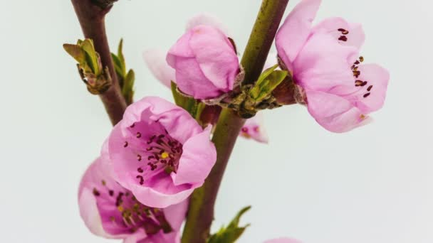 Őszibarack gyümölcsök virág virágzó idő telik el