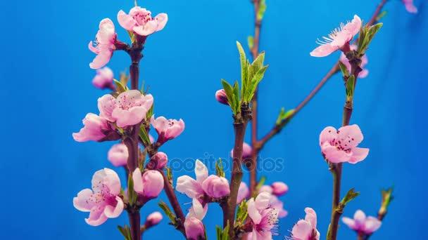 Broskvový ovocný květina rozkvétá a kvetoucí na modrém pozadí
