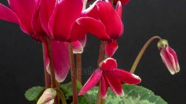 kvetoucí brambořík květiny