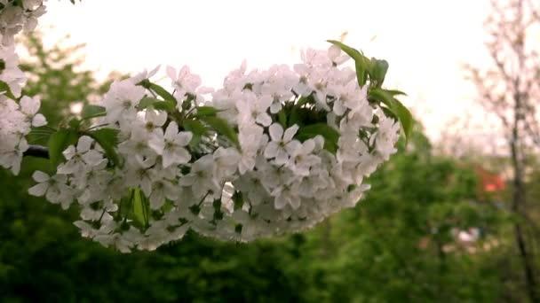 Třešeň květ květiny