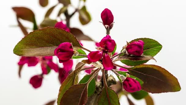 Purple prince-jabloň květiny