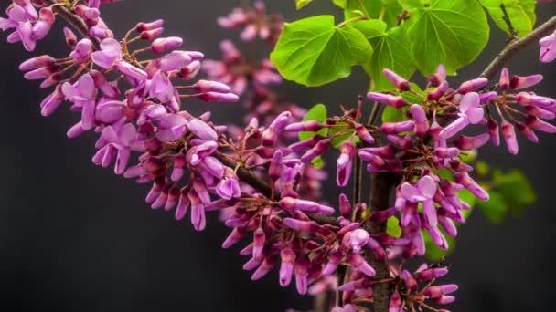 Redbud tree květiny pěstování
