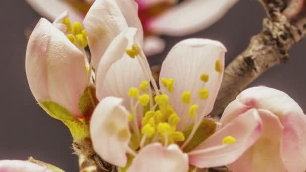Meruňkové květiny kvetoucí