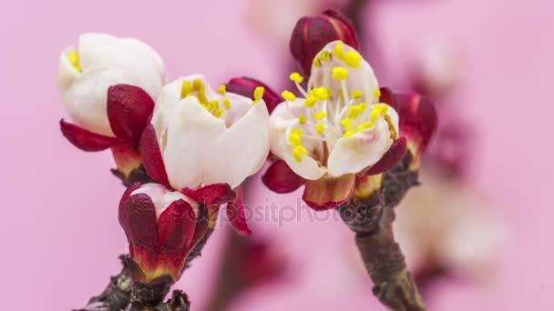Sárgabarack virágok virágzó