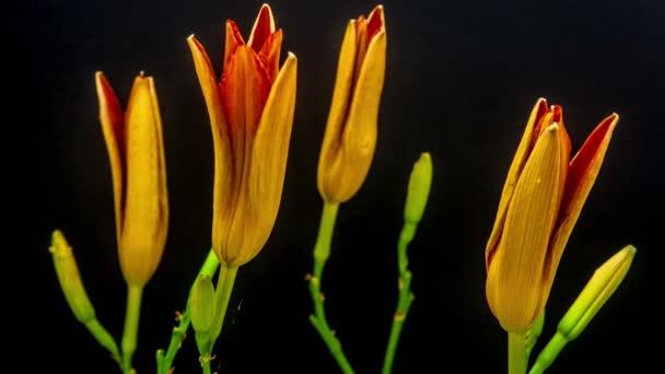 Virágzó narancssárga liliom virágok