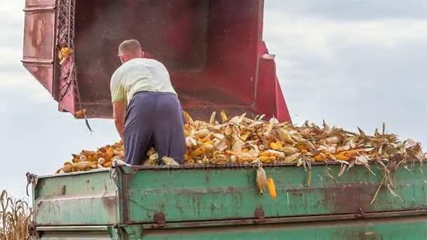Pótkocsi tele betakarított kukorica