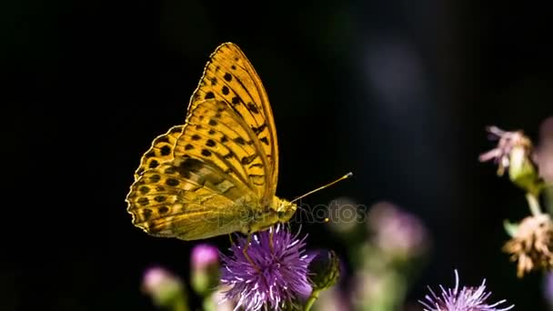 Pillangó a lila vadvirágok