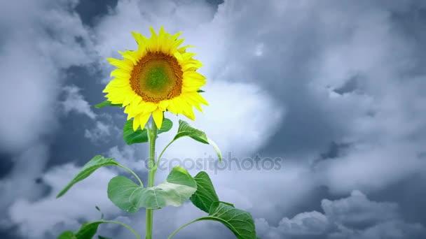 Světlé slunečnicový rostlina