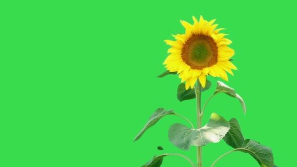 Világos napraforgó növény