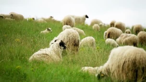 pasoucí se ovce na poli
