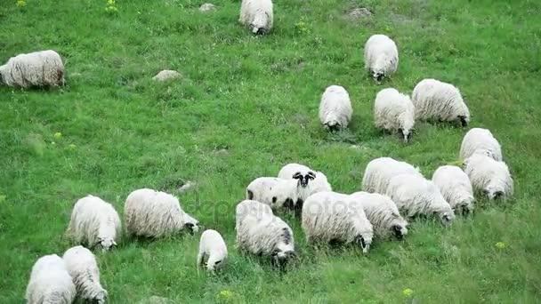 Schafe weiden auf dem Feld
