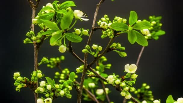 plum flowers tree