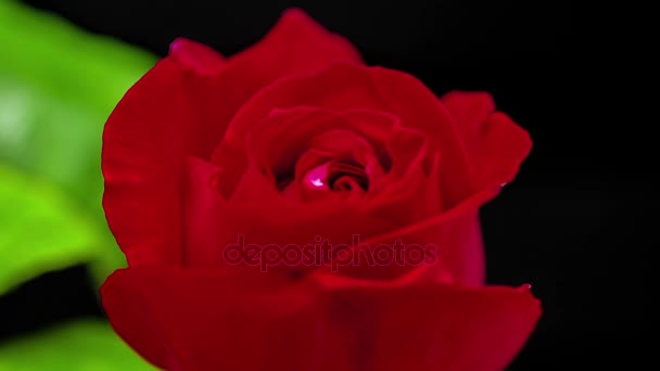 red rose flower growing