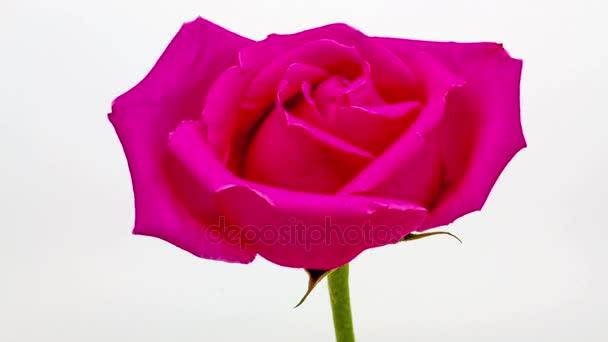 Růžové růže květinářství