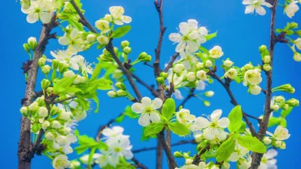 krásné Švestkové květy rostoucí